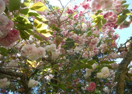 SOUTH AFRICAN SPRING - new life, springtime, whites, trees, seasons, blossoms, flowers, pinks, blooms