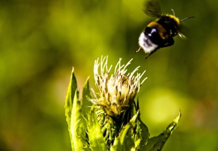Bumblebee leaving a thistle - drone, leaving, sun, spikes, flight, thistle, humble bee, bee, green, flying, flower, insect, nature, bumblebee
