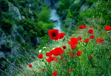 Mountain poppies - red, grass, poppies, beautiful, mountain, nice, green, waterfall, flowers, harmony, lovely, view, fresh, high, greenery, delicate, trees, freshness, slope, summer, nature, focus