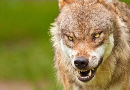 Angry Wolf Dogs Animals Background Wallpapers On Desktop