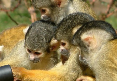 MANY HANDS MAKE LIGHT WORK - teamwork, mischief, curiosity, cuties, tropical wildlife, apes, monkeys, primates