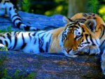 ♥beautiful tiger♥