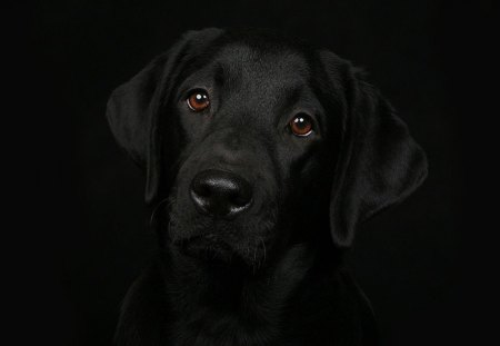 BEAUTIFUL BLACK - puppies, black background, pets, animals, dogs, labradors