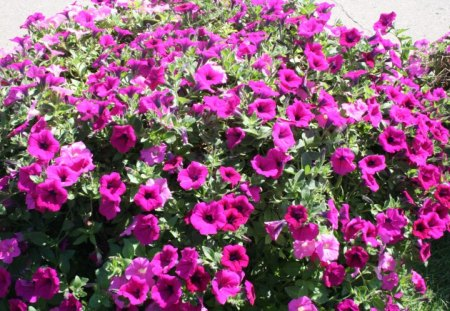 Flowers on a picnic day at the park 08 - flowers, photography, Petunias, petunia, green, red