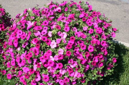 Flowers on a picnic day at the park 14 - flowers, petunias, pink, red, Photography