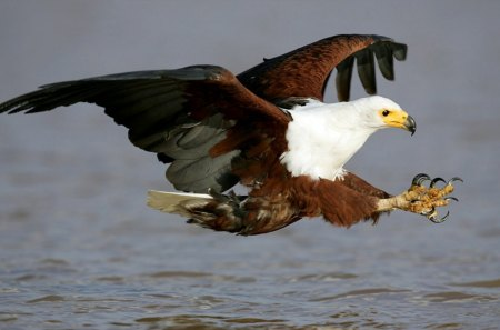 african fish eagle birds \u0026 animals background wallpapers onafrican fish eagle