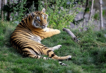 amur tiger - lage, grass, resting, trees, woods, tiger