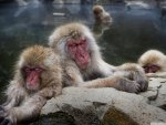 sleeping snow monkeys in japan