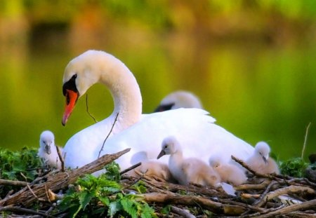 The nest - beauty, twigs, grass, swan, mother, young, nest, love