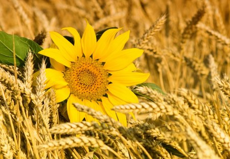 Sunflower - lovely, beauty, yellow, flowers, sunflowers, sunflower, flower, pretty, beautiful, wheat, nature