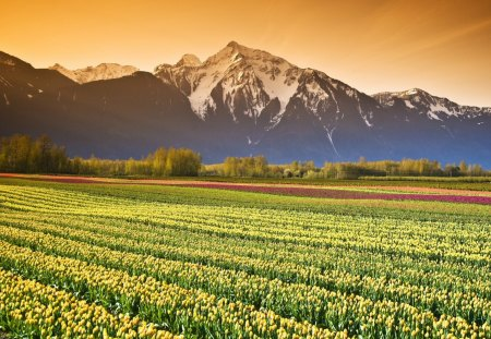 Tulip Field in British Columbia - flowers, nature, fields, tulips