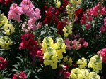 snapdragons Flowers on a picnic day at the park 19
