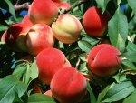 *** Plump peaches ***