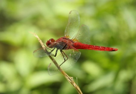 SHERYL'S DRAGON - water creatures, red, wings, dragonflies, gossamer, gardens, insects