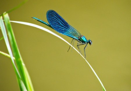 LUMINESCENT BLUE - dragonflies, blue, water creatures, insects, metallic