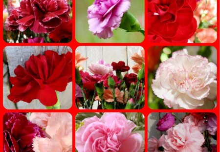 CARNATIONS - pink, pretty, carnations, red