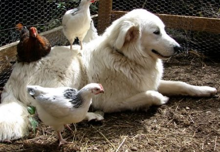 Maremma sheepdog - giant, sheepdog, maremma, white, watchdog
