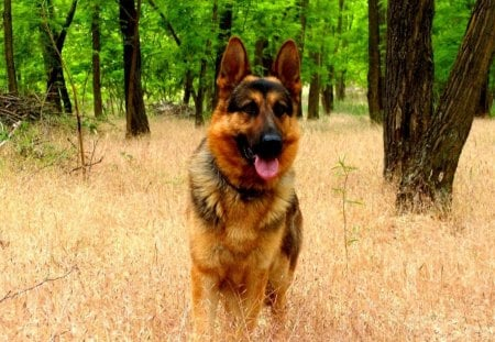 VERY ALERT LOOKING - alert, beautiful, germanshepard, an