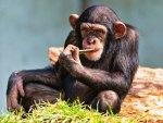 Chimpz