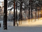 Streaming Sun through Winter Pines