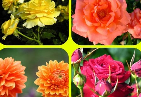 FLOWERS - flowers, dahlias, collage, roses