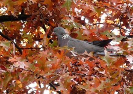 Dove in autumn leaves - dove, leaf, red, pigeon, bird, nature, tree, autumn