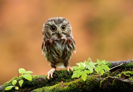 Cute Baby Owl - baby, owl, eyes, tree