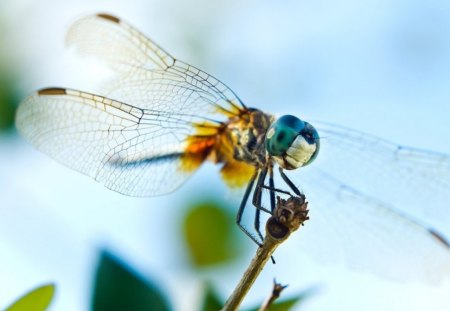 DRAGONFLY DREAM - water creatures, wings, transparent, dragonflies, flowers, gardens, insects, garden visitors
