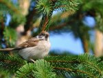 Lovely Little Sparrow on a Pine