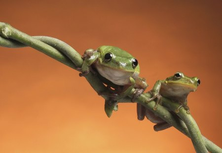 Frogs - twig, green, looking, sitting