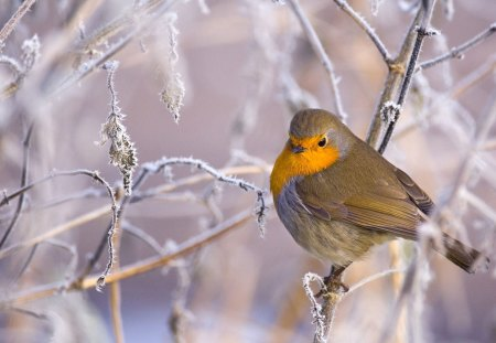 Beautiful Robin in Winter - animals, winter, birds, robins