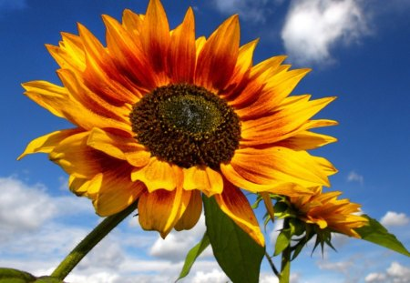 in the sun - yellow, blue, flowers, sunflowers, cloud, in the sun, sky, green, summer, nature