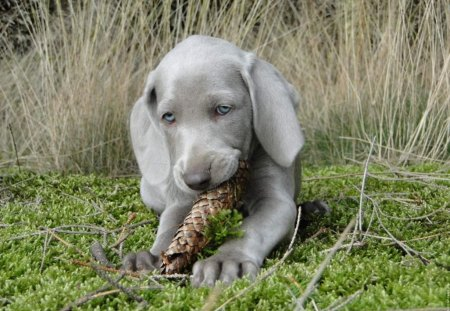 I'm busy with a fir cone - lovely, sweet, fir cone, gray, puppy, dogs, animals, blue eyed, gress, green, different, fresh