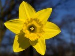 The Happy Daffodil