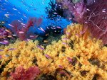 Corals and Anthias Fish
