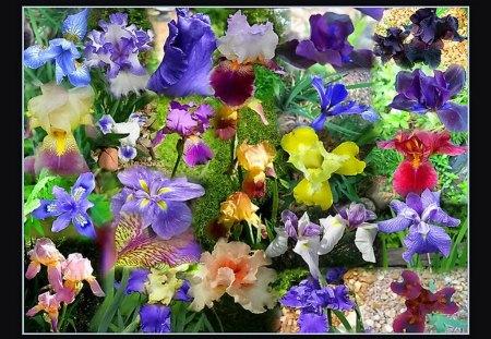 Iris collage for Rita - flowers, iris, collage, colors