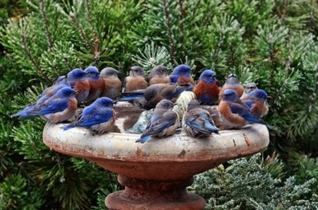 thirsty birds - fountain, shrubs, birds, garden
