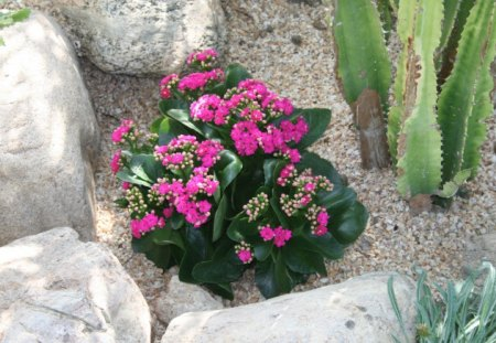 Little Pink flowers at the pyramid of Edmonton , Alberta - flowers, cactus, Pink, photography, stones, green