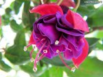 FASCINATING FUSCHIA