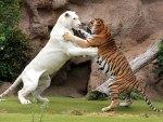 *** TIGERS ***