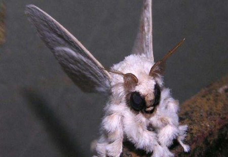 Venezuelan Poodle Moth - moth, butterflies, animals, other