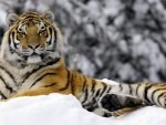 winter tiger♥