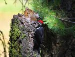 Woodpecker Hard At Work