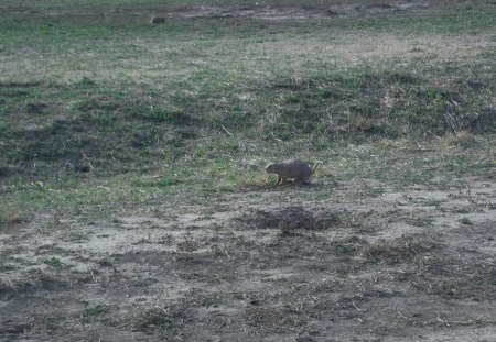 Prairie Dog in the Badlands - prairie dog, badlands, badlands national park, south dakota