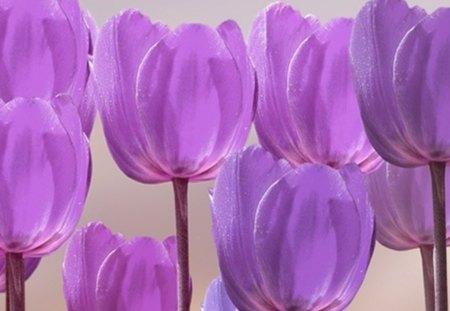 beautiful tulips - beauty, flowers, purple, tulips