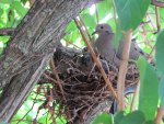 Morning Dove and her Two Babies