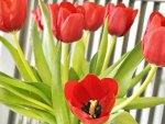 FRESH Tulips♥