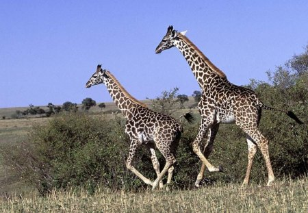 Run! - wildlife, giraffe, tall, africa