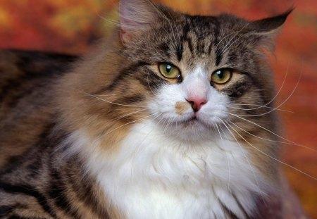 GATINHO PELUDO - animal, gato, natureza, amigo