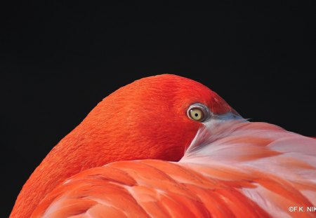 FLAMINGO - flamingo, orange, zoo, red